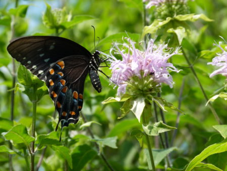 Gardening for Pollinators (Online) @ Live online program