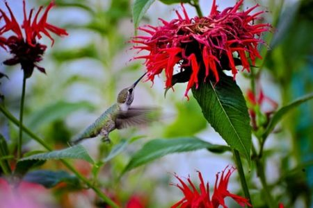 Conservation Starters: Gardening for Hummingbirds