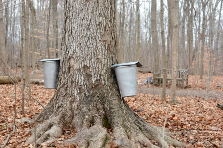 Maple Tree Tapping Day @ Cincinnati Nature Center, Rowe Woods