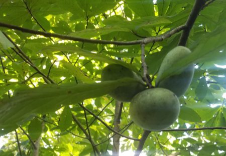 Grow Pawpaw Trees at Long Branch Farm & Trails @ Cincinnati Nature Center, Long Branch Farm & Trails
