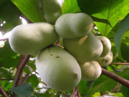 Grow Pawpaw Trees @ Online, virtual program