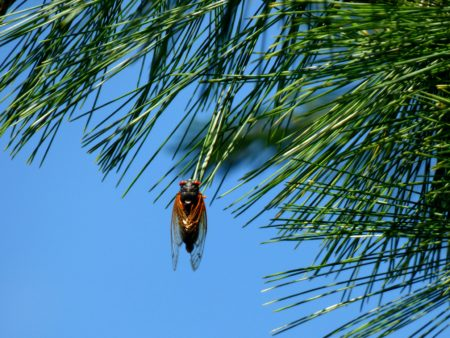 The Cicadas Are Coming! @ Live Online Program